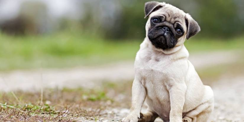 Coolest White Pug Dog Sitting On Road For Wallpaper
