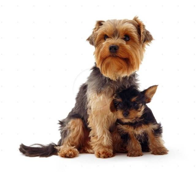 Coolest Yorkshire Terrier Dog With His Baby