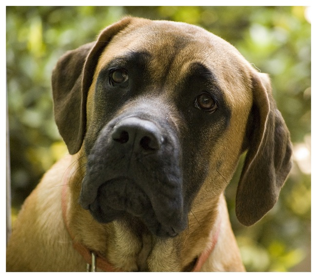 Cute Brown English Mastiff Dog Face Photo For Wallpaper