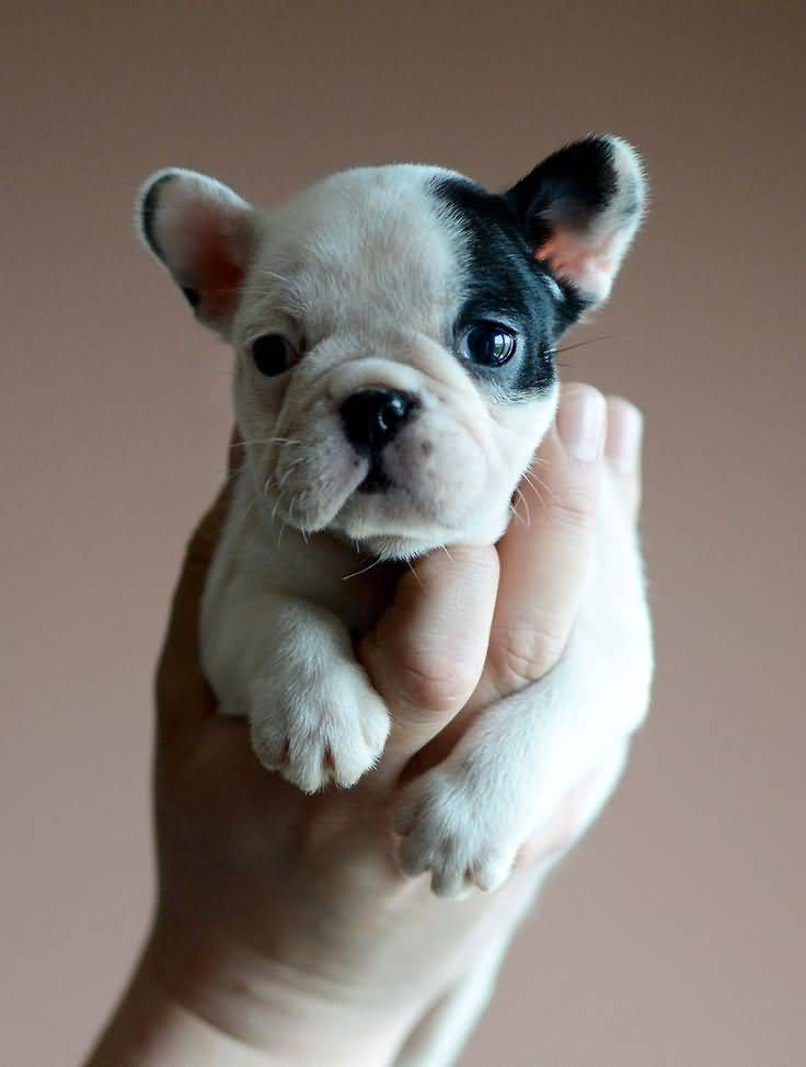 Cute Bulldog Baby Boys In Hand