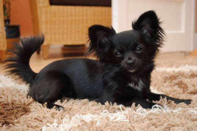 Cute Chihuahua Dog Get New Haircut On Floor
