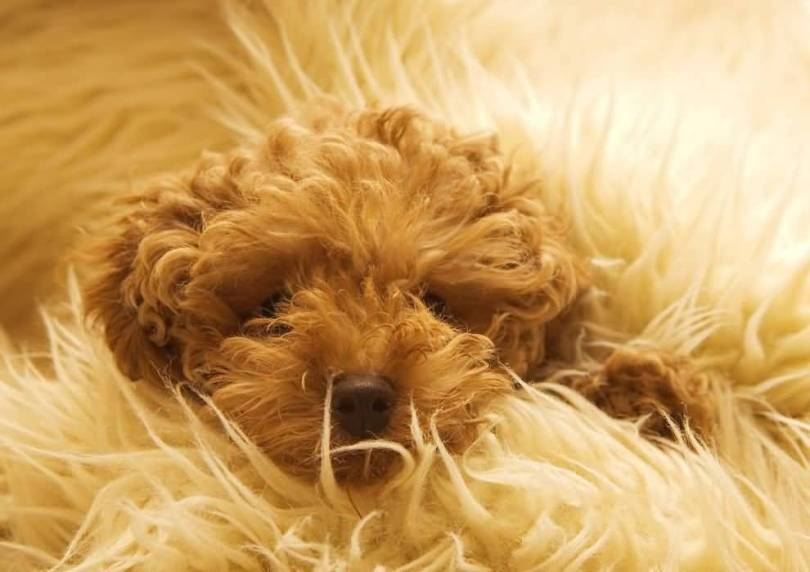 Cute Chocolaty Poodle Dog For Wallpaper