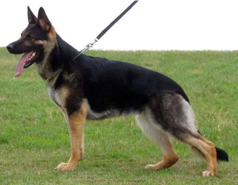 Cute German Shepherd Dog With Beautiful Background