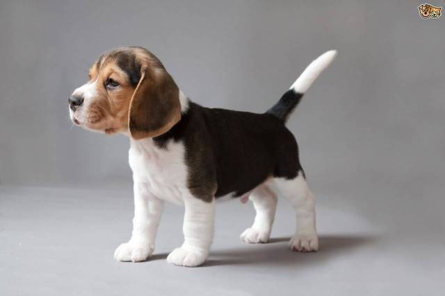 Cute Mix Beagle Dog Stand On Floor