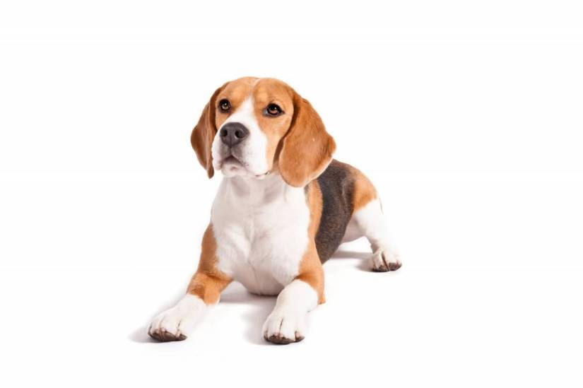 Cute Picture Of Sitting Beagle Dog