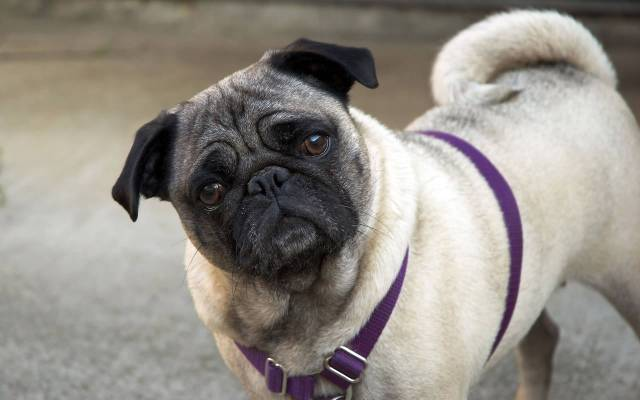 Cute White Pug Dog Looking At You