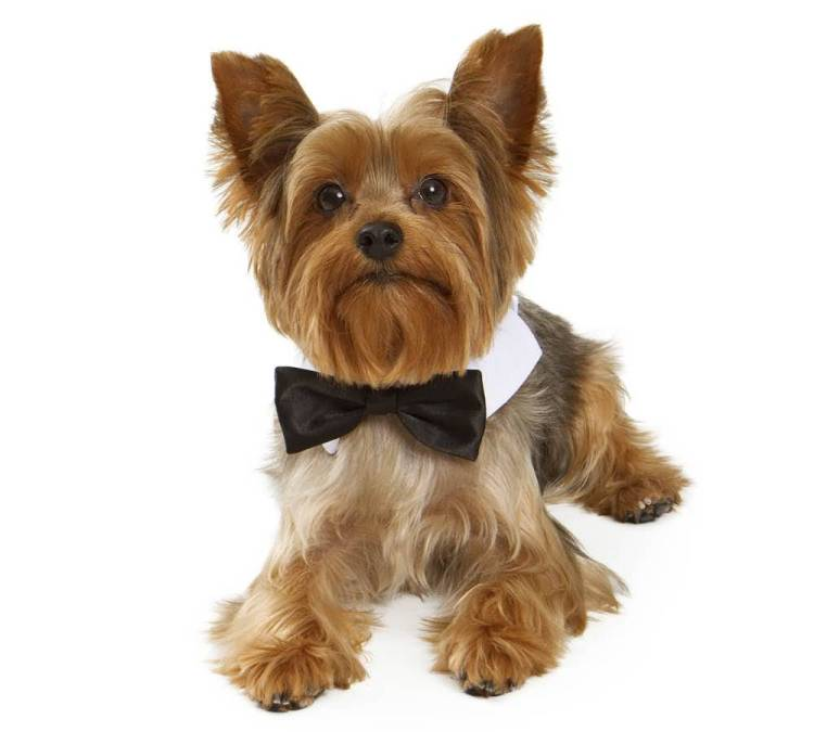Cute Yorkshire Terrier Dog Ready For Party