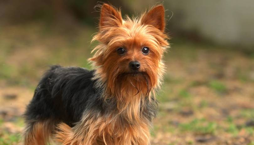 Cute Yorkshire Terrier Puppies With Beautiful Background