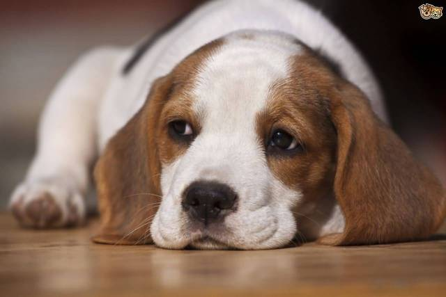 Cutest Beagle Dog Laying On Floor Awesome Image