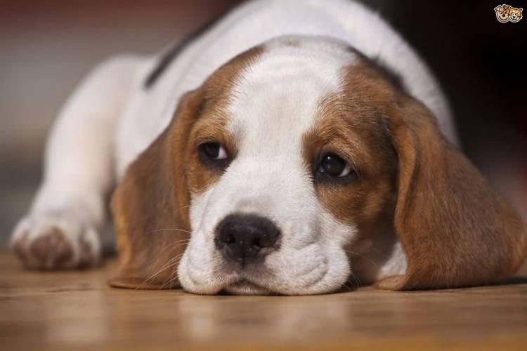 Cutest Beagle Dog Laying On Floor Awesome Image