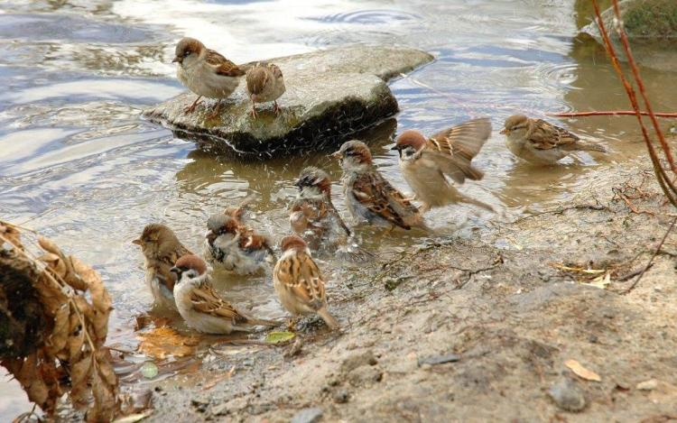 Cutest Sparrows Swimming In The Lake