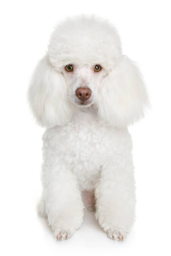 Cutest White Poodle Dog Puppies With White Background