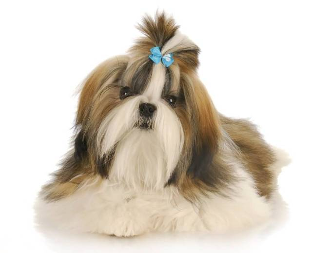 Fabulous Shih Tzu Female Dog Photo For Wallpaper