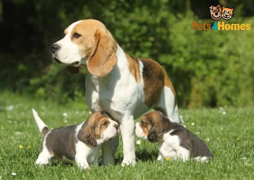 Family Image Of Beagle Dogs In Park