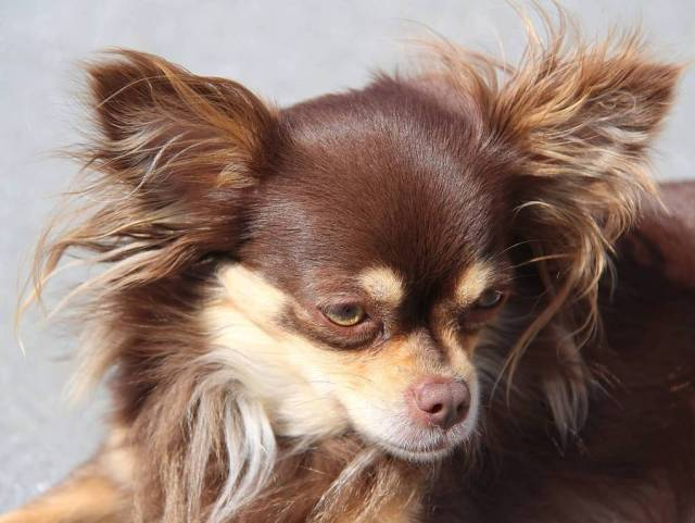 Fantastic Brown Chihuahua Dog New Haircut With Yellow Eyes