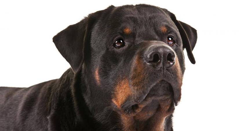 Fantastic Rottweiler Dog With White Background