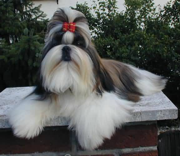 Fantastic Shih Tzu Dog Ready For Photo shot