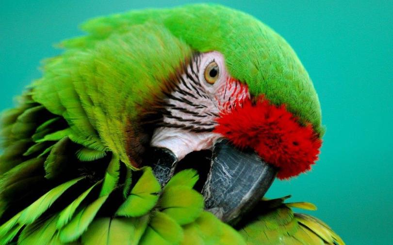 Green Parrot Looks Sleepy