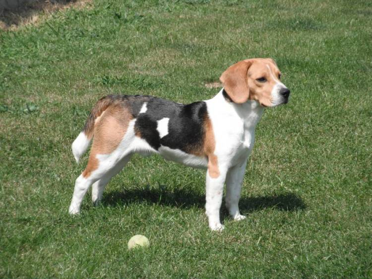 High Definitions Wallpaper Of Beagle Dog