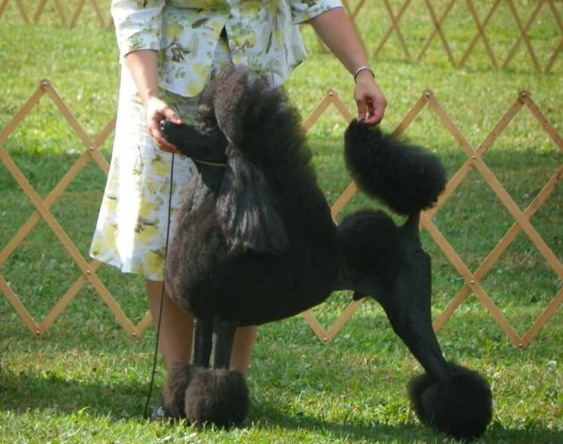 Incredible Black Poodle Dog With Beautiful Background