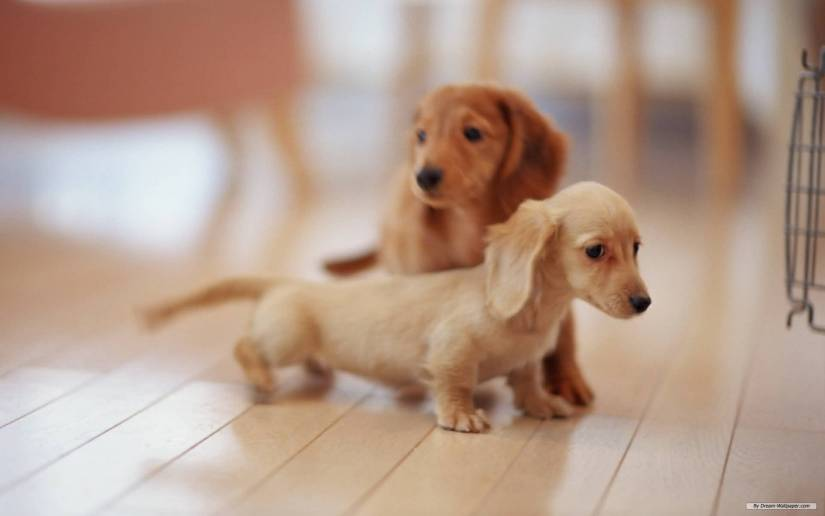 Incredible Picture Of Two Miniature Dachshund Dog Pup Stand On Floor
