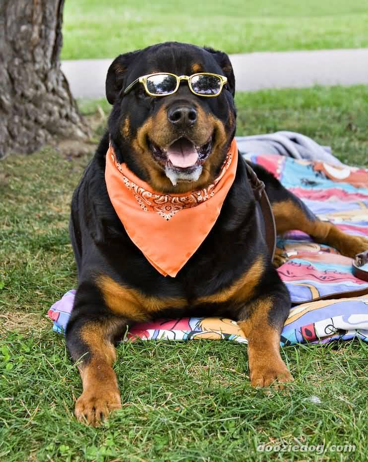 Incredible Rottweiler Dog In Park