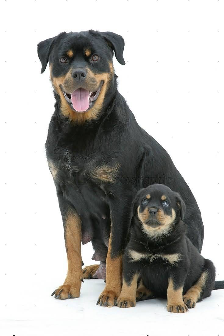 Incredible Rottweiler Dog With His Dog Puppy