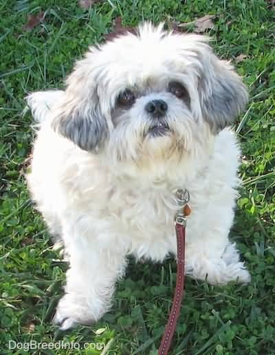 Incredible White Shih Tzu Dog In Park