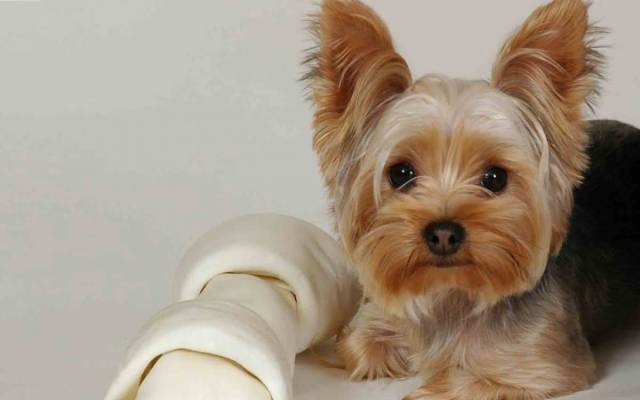 Incredible Yorkshire Terrier Dog With White Background