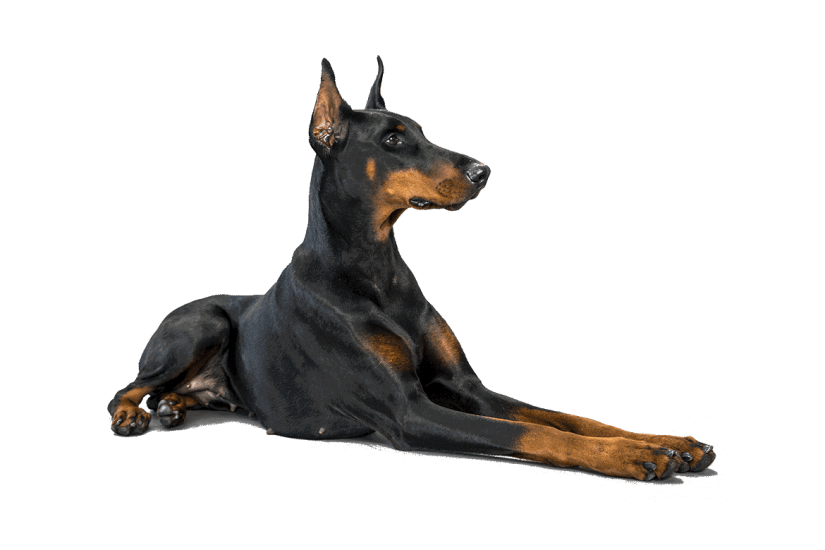 Lovely Doberman Pinscher Dog With Beautiful Background