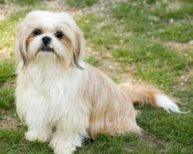 Lovely White Shih Tzu Dog Sitting In Park