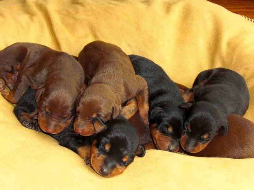 Mind Blowing Doberman Pinscher Puppy On Bed