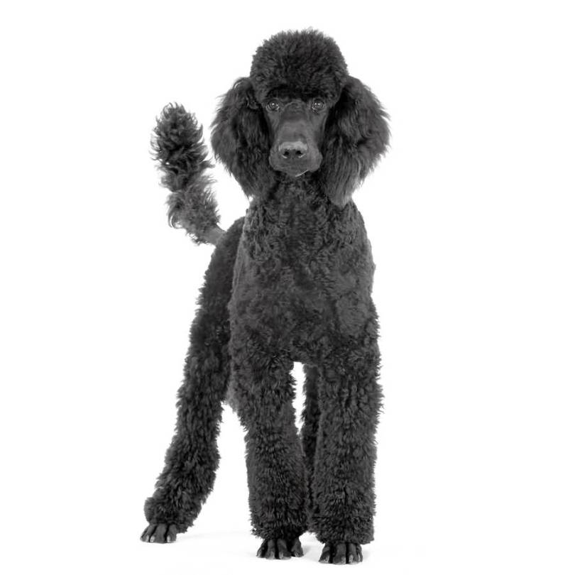 Mind Blowing Poodle Dog With White Background