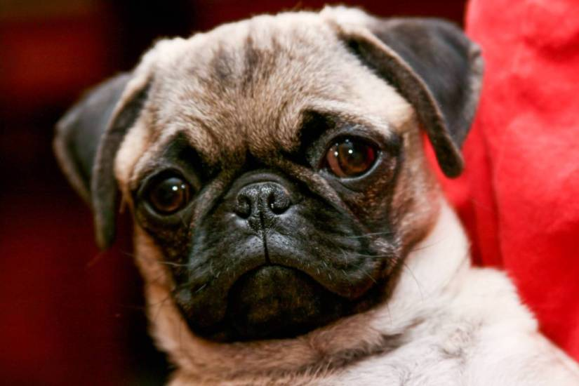 Mind Blowing Pug Dog Looking At You