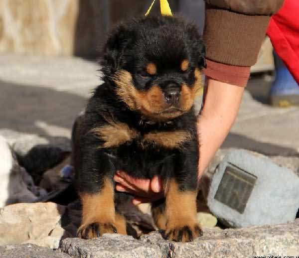 Mind Blowing Rottweiler Dog Pup For Playing With Kids