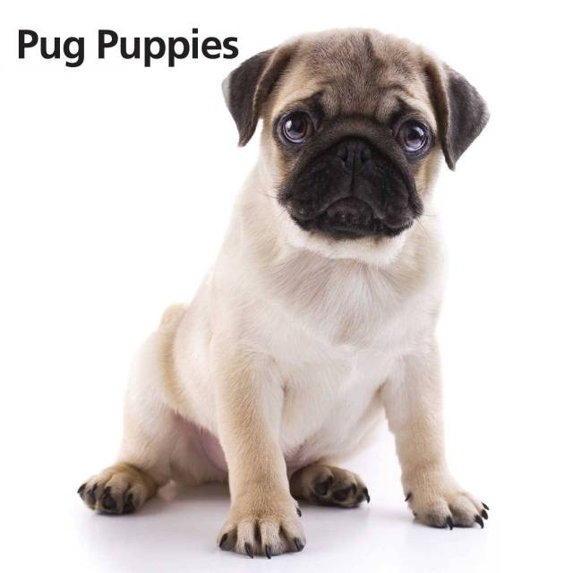 Mind Blowing Small Pug Dog Baby White Background