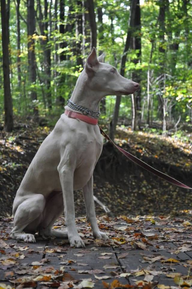 Mind Blowing White Doberman Pinscher In Jungle Sitting For Catching Thief