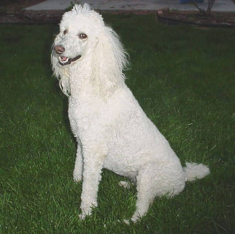 Mind Blowing White Poodle Dog In Garden