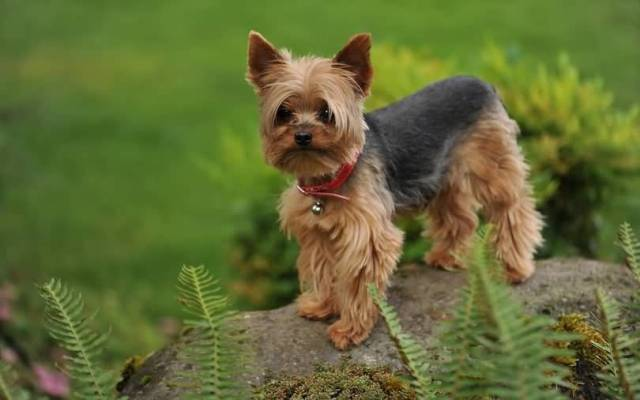 Mind Blowing Yorkshire Terrier Dog With Beautiful Background