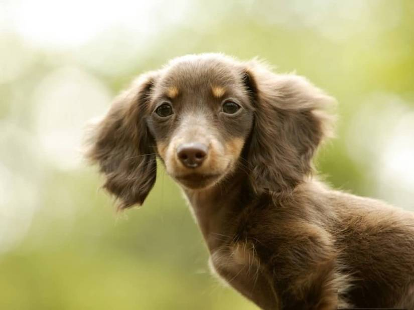Most Beautiful Dachshund Dog With Green Background