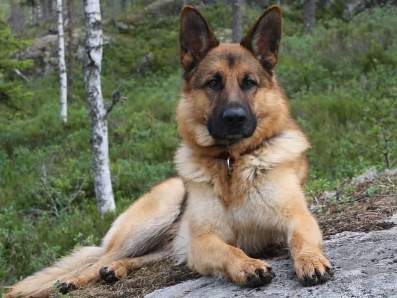 Most Beautiful German Shepherd Dog Sitting In Jungle