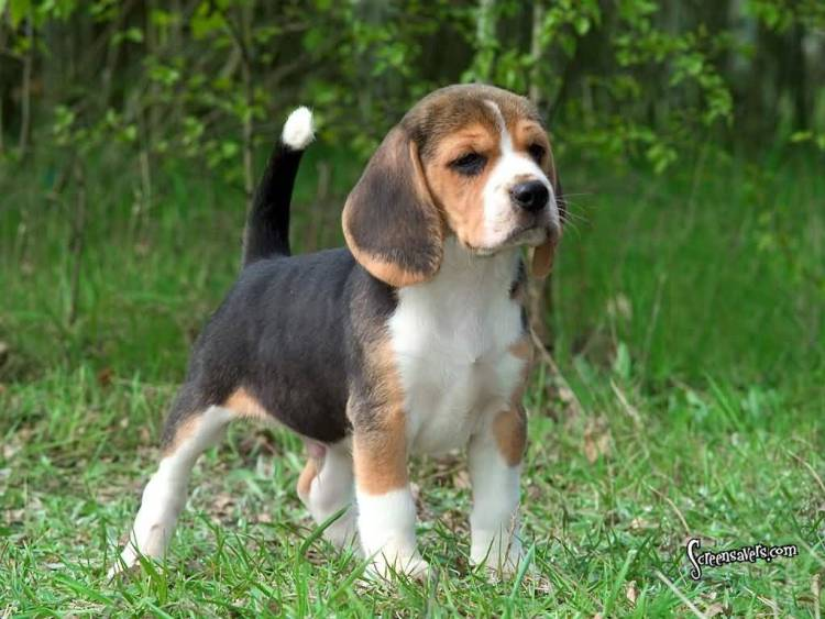 Nice Background With Beagle Dog Standing In Park