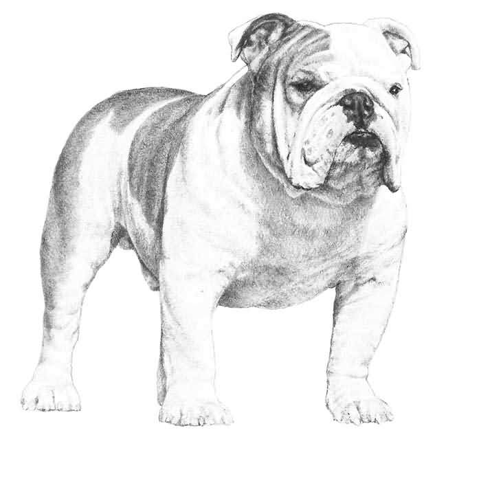 Nice Bulldog Sketch On Paper For Wallpaper