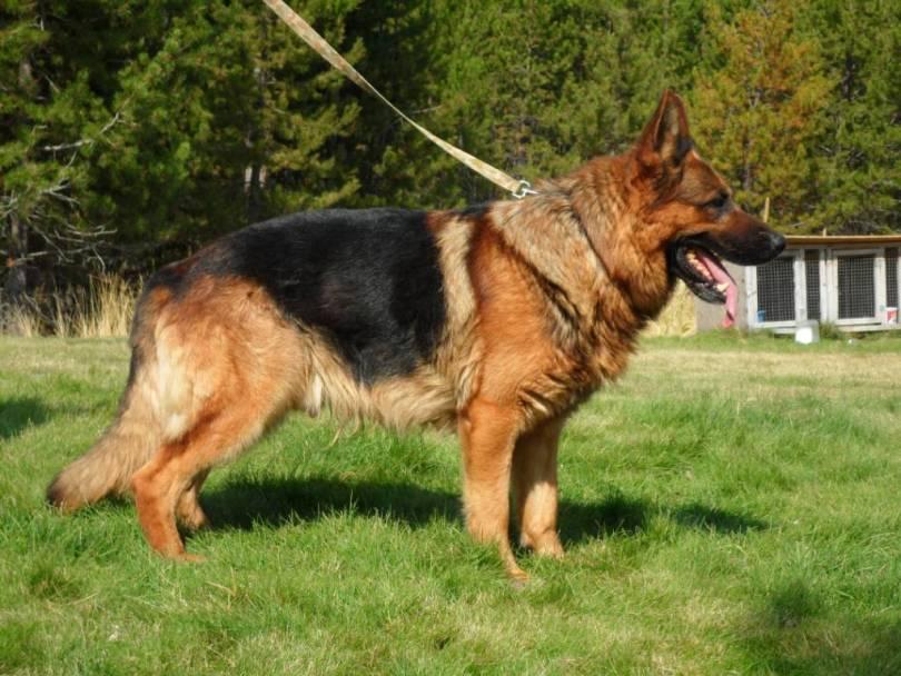 Nice German Shepherd Dog Stand In Garden