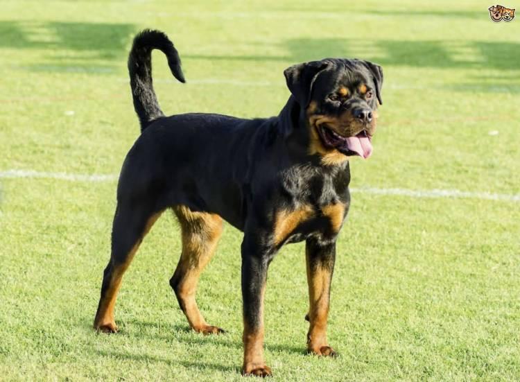 Nice Rottweiler Dog Standing For Wallpaper