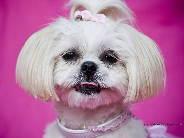 Nice Shih Tzu Dog With New Hair Style