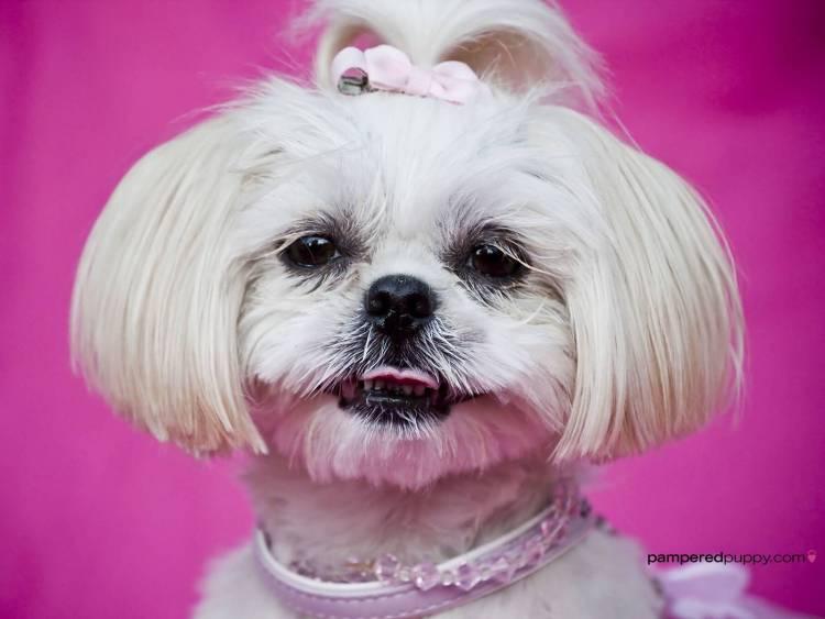 Nice Shih Tzu Dog With New Hair Style