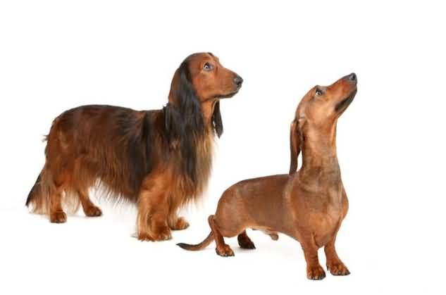 Nice Two Dachshund Dog Stand On Floor