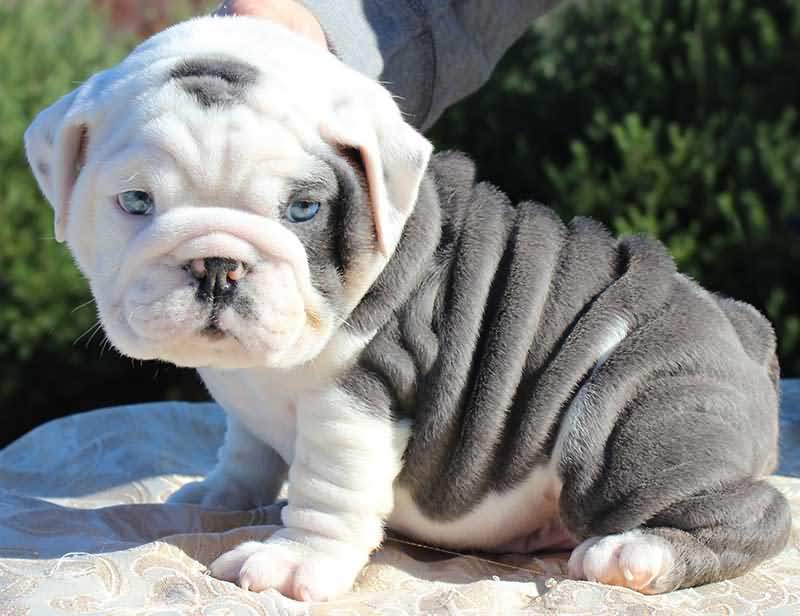 Nice White And Black Color Bulldog Puppies With Blue Eyes