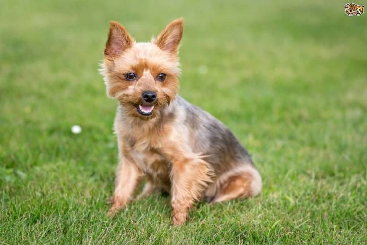 Nice Yorkshire Terrier Dog With Beautiful Background